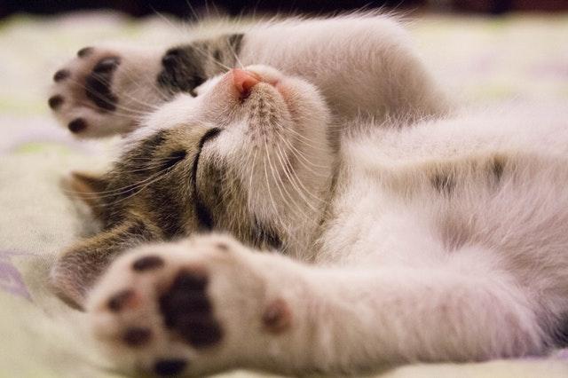 kedi kısırlaştırma scootish fold