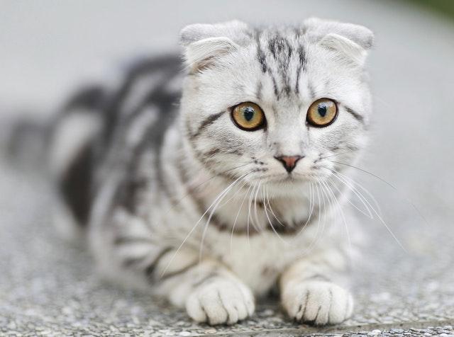 Photo of Kedi Kısırlaştırma Ve Zorlukları, Scottish Fold Kısırlaştırma